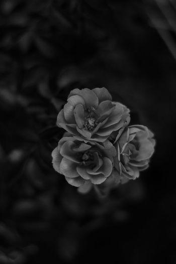 Black And White B/w Flowers Bokeh Monochrome Photography
