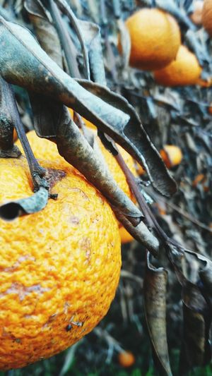 Taking Photos Fruits Bergamota Tangerine Hello World Photography Brasil Riograndedosul Eyeemgallery Nature Photography