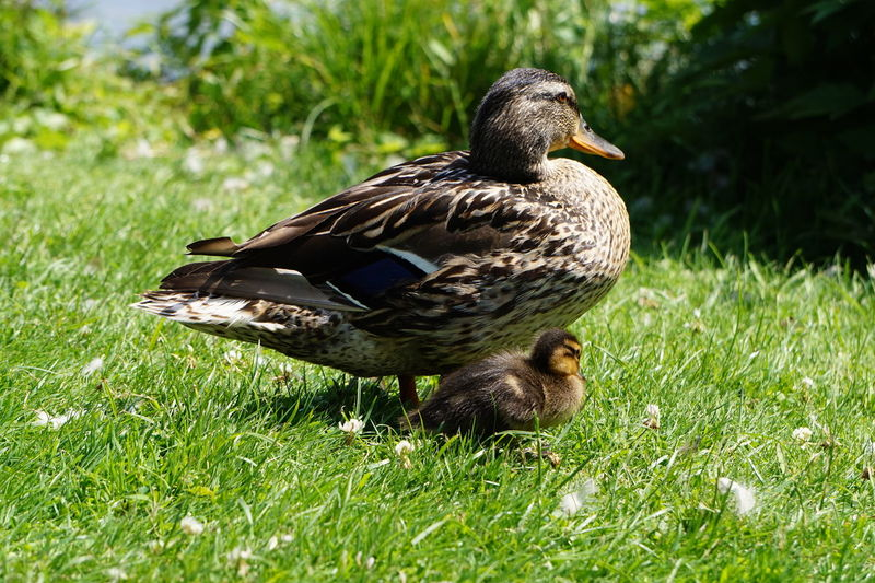 Bird Animal Themes Animal Animal Wildlife Animals In The Wild Vertebrate Grass Plant One Animal Duck Green Color Poultry Nature Day No People Mallard Duck Land Field Sunlight Female Animal Outdoors Beak Animal Family Duckling Mother And Children Point Of View