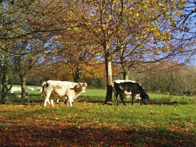 Kühe Herbsttag Kühe Auf Der Weide Cows In A Field Autumn