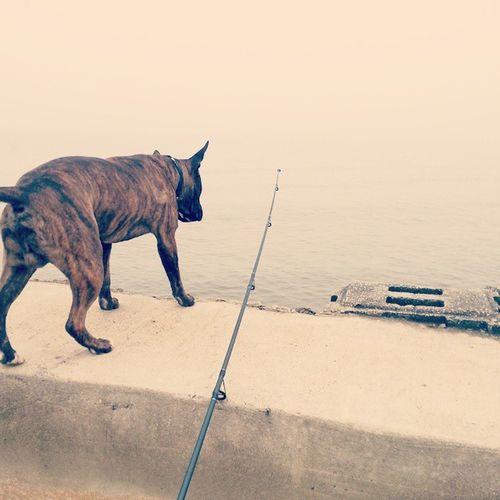 watch em now..lol Watchum Apbt Pitbull Dontbullymybreed Brindle Fishing Fishingpole Delawarebay Bay