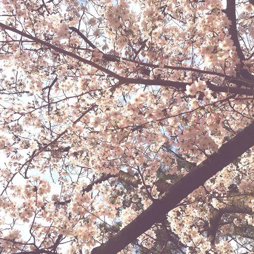 日本の春は素敵 Enjoying Life Good Times Holiday Flowers Happy