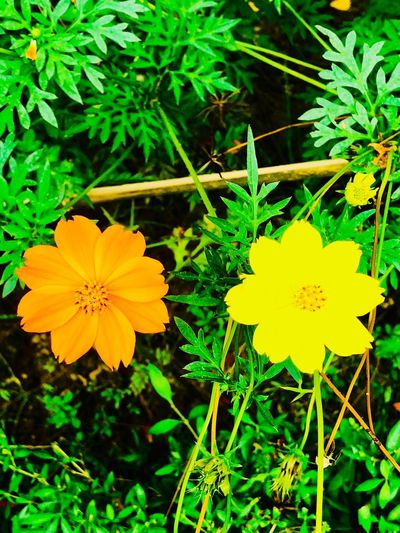 Flowering Plant Flower Plant Fragility Vulnerability  Freshness Beauty In Nature Flower Head Growth Inflorescence Yellow Nature No People Green Color
