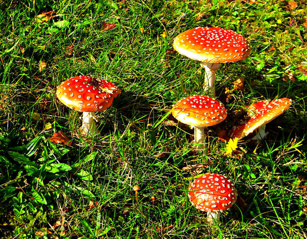 Beauty In Nature Close-up Day Field Fly Agaric Mushroom Food Food And Drink Freshness Fungus Grass Growth Land Mushroom Nature No People Outdoors Plant Poisonous Red Spotted Toadstool Vegetable