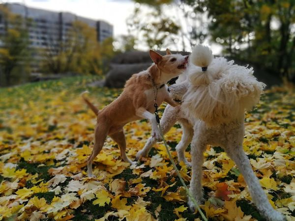 Mammal Animal Themes Day No People Outdoors Tree Nature Podenco Pets Dog Domestic Animals Animal Tree Nature Poddle Podenco Andaluz Play Playing Dogs Autumn