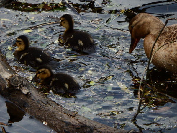 Quack Life Nature Reflection Animal Themes Bird Duck Duckling Ducks Ducks At The Lake High Angle View Ocean Photography Sea Swim Water Young Bird