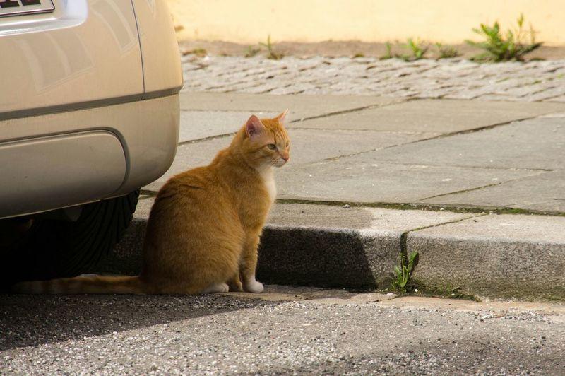 Cat Sitting On Street By Car