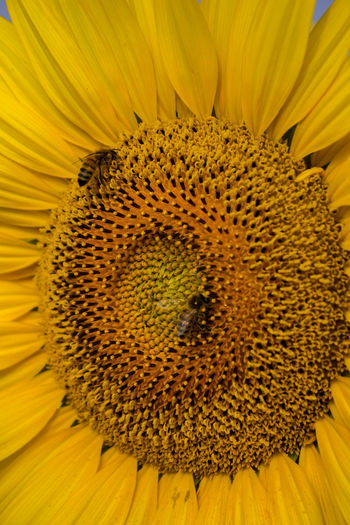 Close-up of bee on sunflower