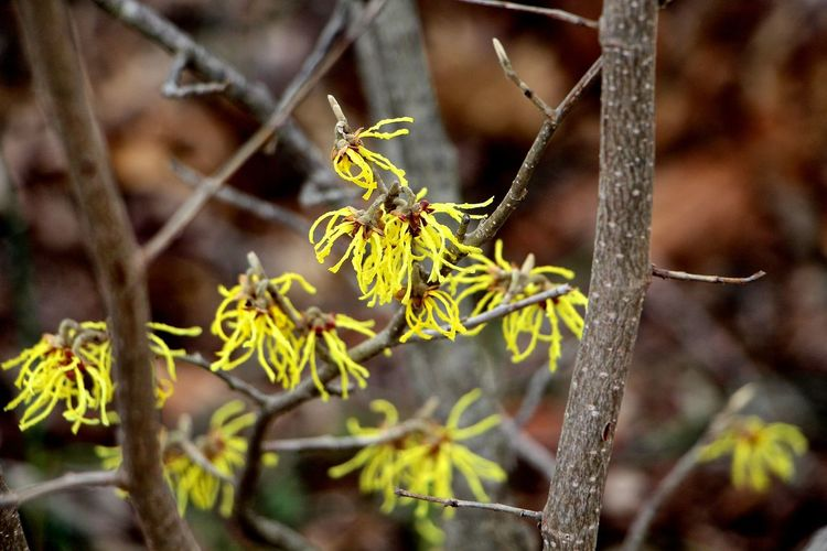 Beauty In Nature Branch Close-up Day Dead Plant Dry Focus On Foreground Forest Growth Leaf Nature No People Outdoors Plant Selective Focus Stem Tranquility Tree Tree Trunk Twig Witch Hazel