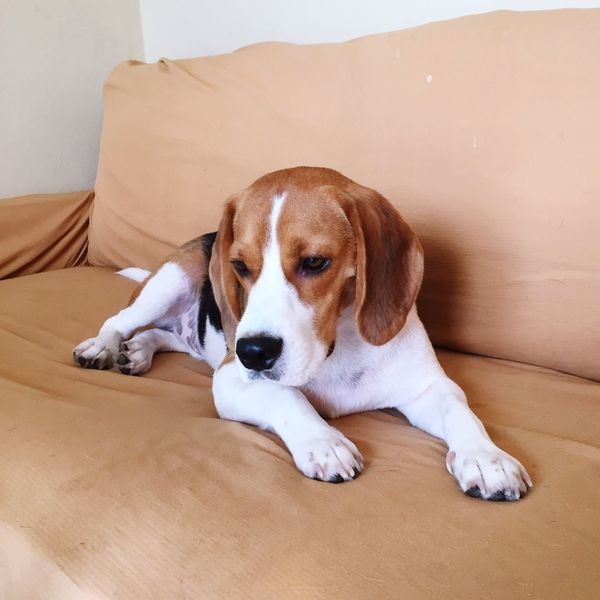 Look to day! I Love My Dog Beautiful Beagle Beagles  Beaglelovers Beaglegang Beaglelove Beaglesbrasil Sleeping Beagle Beagle Love