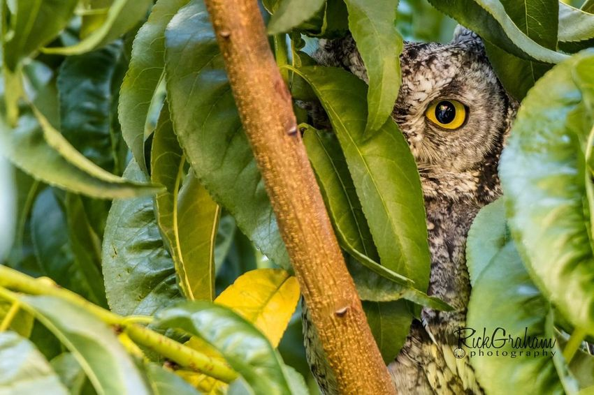 Eye see you. Western Screech Owl peeking out from the tree. Screech Owl Western Screech Owl Owl One Animal Green Color Animal Wildlife Leaf Animals In The Wild Animal Themes Growth Nature Close-up No People Day Outdoors Tree Beauty In Nature Branch