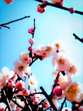 Beauty In Nature Blooming Blossom Branch Clear Sky Close-up Day EyeEm Nature Lover Flower Flower Head Fragility Freshness Growth Low Angle View Nature No People Outdoors Pink Color Plum Blossom Sky Springtime Tree Twig White Color
