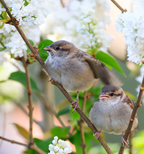 Sat in a tree waiting for mum to bring the food. Baby Baby Birds Beautiful Nature Bird Photography Lilac Flower Nature Wildlife & Nature Wildlife Photography Young Beauty In Nature Bird Birds Birds_collection Branch Chick Fledgling Lilac Nature Nature_collection Perching Sparrow Sparrows Tree Wildlife Wildlifephotography