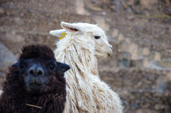Animal Hair Animal Head  Animal Themes Black And White Inca Lama Ollantaytambo Ollantaytambo - Peru Peru South America The Following Original Experiences