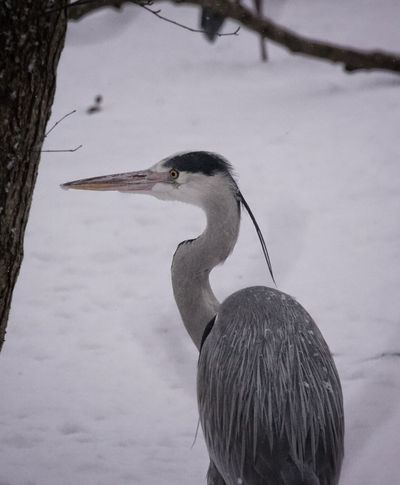 Grey heron 2/8 Showcase February 2018 Niklas Februari 2018 Grey Heron  Heron Animal Wildlife Animals In The Wild Winter Bird One Animal Snow Cold Temperature No People Outdoors Day Nature Animal Themes