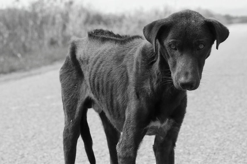 Hungry Look At Me Road Stray Dogs Stray Dog Animal Black And White Canine Dog Domestic Animals Help Helpme Homeless Looking Looking At Camera One Animal Pets Portrait Sadness Sick Sickness Side Road Standing Starve Vertebrate