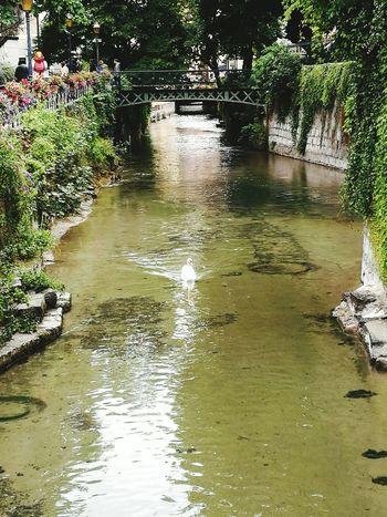 Cygne Vieux Annecy