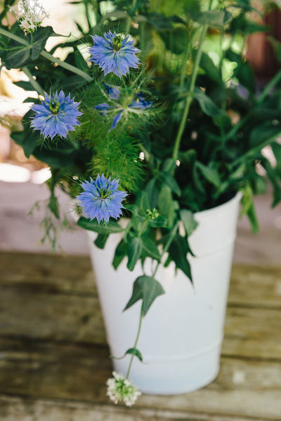Beauty In Nature Blooming Blue Color Close-up Cornflower Day Flower Flower Head Fragility Freshness Growth Leaf Nature No People Outdoors Petal Plant Potted Plant