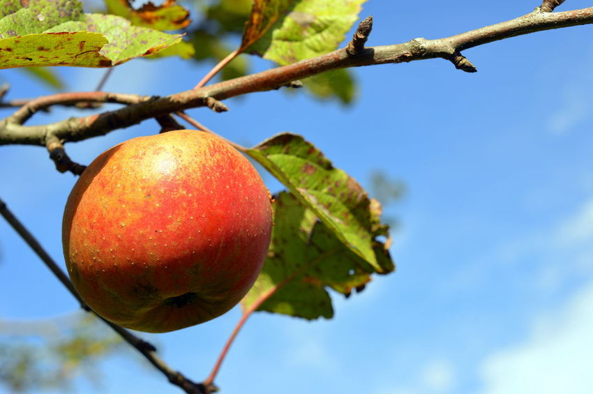 Eye Em Nature Lover Apples Beauty In Nature Branch Close-up Day Focus On Foreground Food Food And Drink Freshness Fruit Green Color Growth Hanging Healthy Eating Leaf Low Angle View Nature No People Olefingirl Outdoors Red Sky Tree