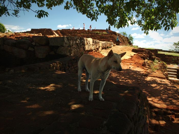 Views from Lion Rock Dog Stray Animal Stray Dog Looking Out Tree Rock Canopy Ancient Architecture History Historic Built Structure Historical Place Monument Lion Rock View Blue Sky Standing Sky Building Historic Building Canine