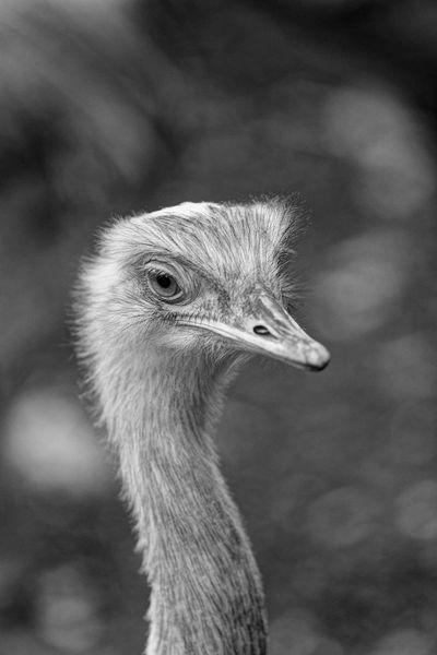 Nandu Ostrich Blackandwhite Monochrome Repost