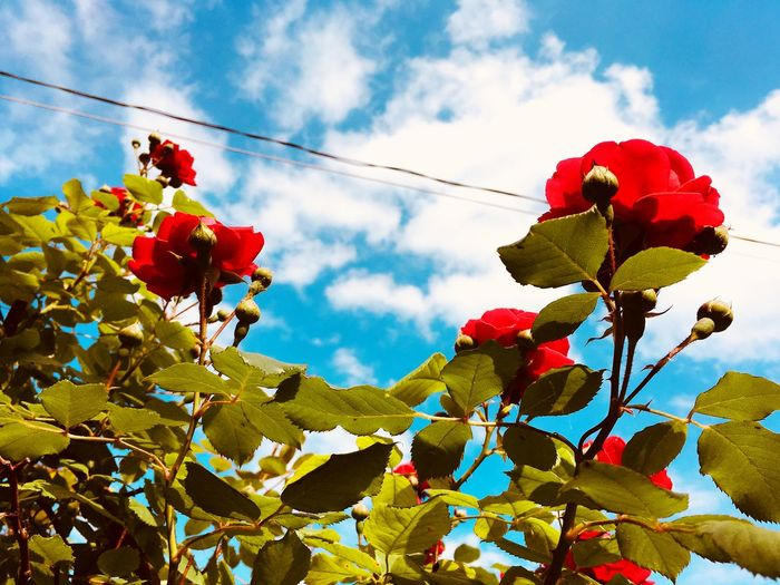 Roses Sky Plant Cloud - Sky Nature Flower Growth Low Angle View Flowering Plant Beauty In Nature Freshness Fragility Day No People Close-up Red Vulnerability  Plant Part Leaf Decoration Outdoors