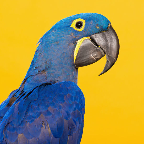 Hyacinth macaw on an yellow background Animal Themes Animal Wildlife Animals In The Wild Beak Bird Blue Close-up Day Hyacinth Hyacinth Macaw Macau Macaw Nature No People One Animal Parrot Studio Yellow