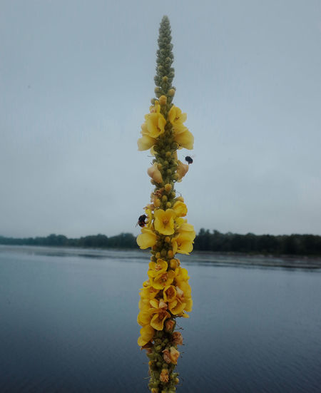 Close-up of yellow flowering plant by lake against sky