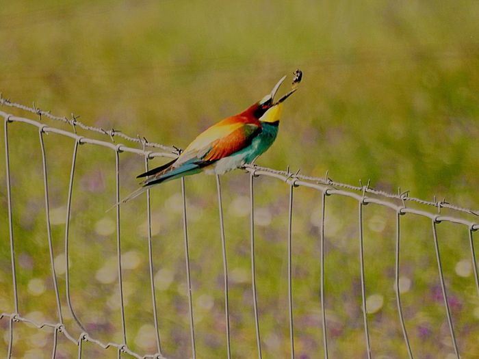 You can see why they are called bee-eaters Bird One Animal Animal Themes Animals In The Wild Perching Animal Wildlife No People Outdoors Nature Day Beauty In Nature Multi Colored
