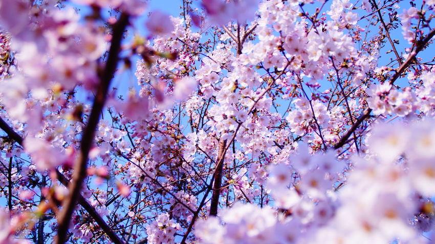 満開です。桜 日本 Japan