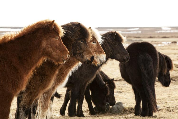 Icelandic horses on field against sky