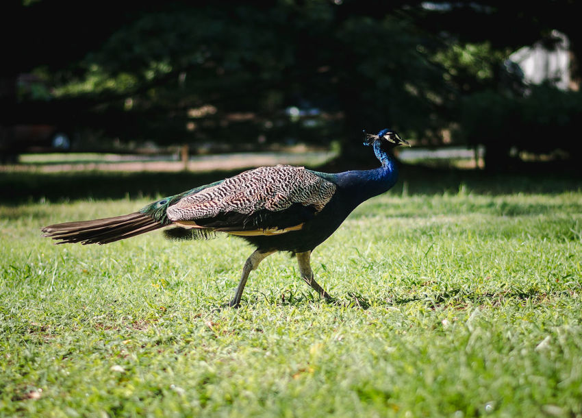 Peacock Animal Animal Themes Animal Wildlife Animals In The Wild Bird Day Field Grass Green Color Land Nature No People One Animal Outdoors Peacock Plant Selective Focus Side View Sunlight Vertebrate