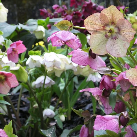 Hellebores - early Spring flowers, north-west Wales. Hellebores Spring Flowers Snowdonia Natural Beauty