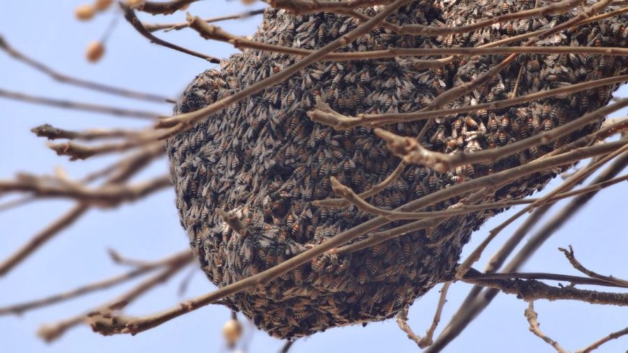Low angle view of beehive on branch