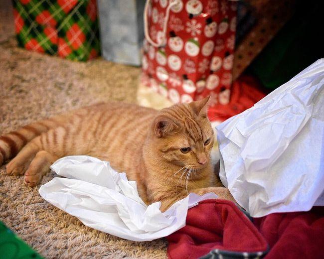 Ginger Cat Relaxing Indoors