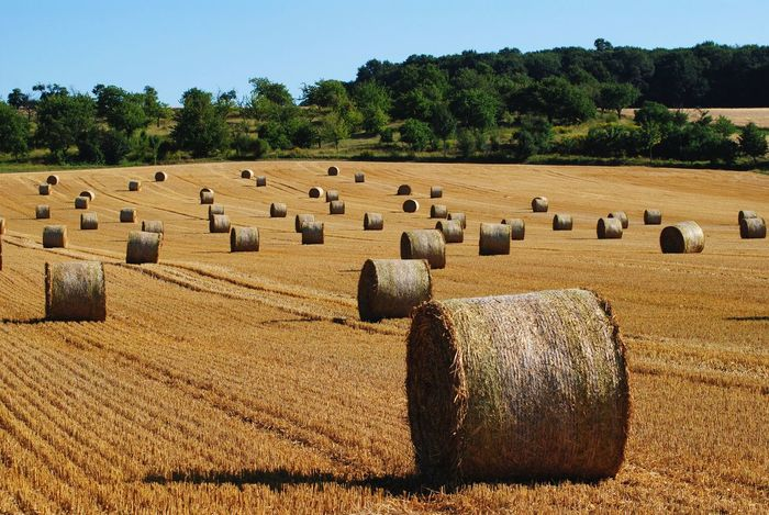 Agriculture Bale  Country Countryside Eye4photography  EyeEm Masterclass Farm Field Harvest Harvest Time Harvesting Hay Hay Bales Landscape Landscape_Collection Large Group Of Objects Late Summer Nature Nature On Your Doorstep Rural Scene Scenics Solitude Sunlight Tranquil Scene Tree