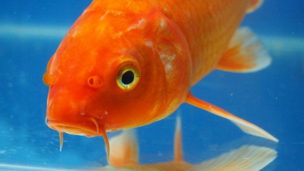 Aquatic Animal Themes Animal Wildlife Animals In The Wild Aquarium Aquatic Animal Arowana Arowana Fish Fish Orange Color Pet Underwater Water First Eyeem Photo