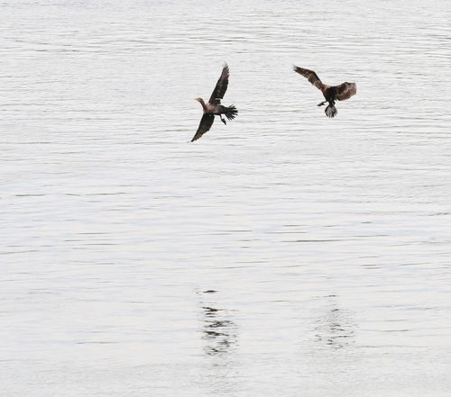 Animal Behavior Cormorants JGLowe EyeEm Selects Animals In The Wild Bird Animal Wildlife Vertebrate Water Animal Animal Themes Group Of Animals Waterfront Flying Lake Spread Wings Day Nature Beauty In Nature Mid-air No People Outdoors
