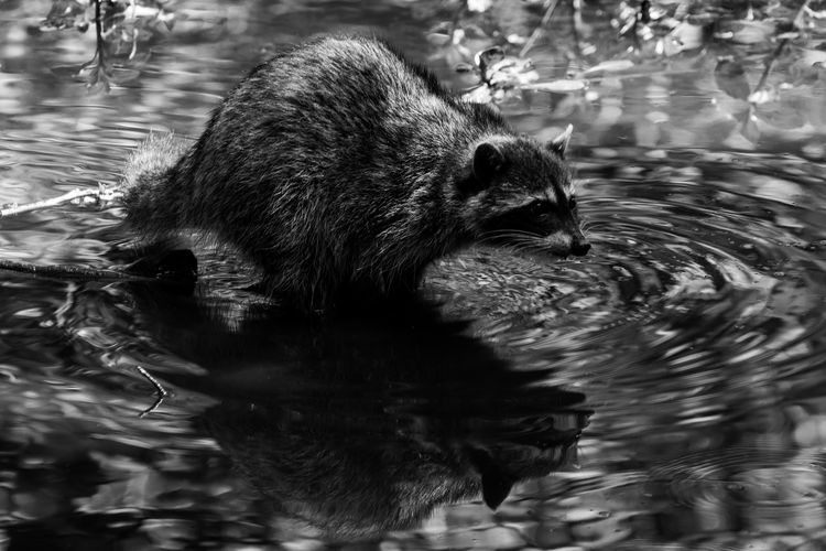 raccoon Raccoon