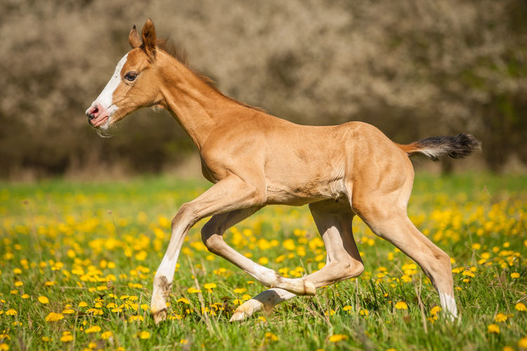 Akhal & Teke Baby Horse Golden Golden Horse New Arrival Akhalteke Animal Animal Themes Baby Animal Baby Animals Buckskin Cute Animals Cute Foal Domestic Animals Field Flower Foal Foal Running Grass Horse Horse Breeds Nature No People One Animal Outdoors
