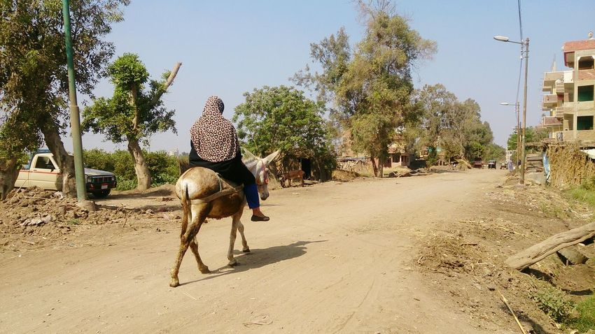 Egyptian woman over donkey in small village Woman Hello World Check This Out Eyem Best Shots Egypt Travel Nature Donkey Transportation Streetphotography
