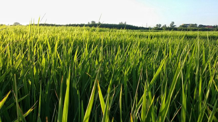 Agriculture Growth Cereal Plant Crop  Green Color Field Rural Scene Day Nature No People Outdoors Beauty In Nature Freshness Sky Close-up Paddy Field KluangMan Eyemphotography Scenics Food Landscape Freshness Beauty In Nature EyeEmNewHere