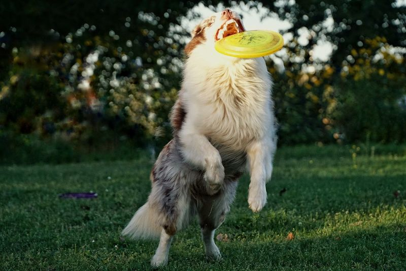 Close-up of an australian shepherd dog catching disc