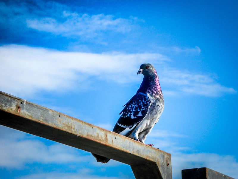 Animal Themes Animals In The Wild Balance Bird Blue Sky Curiosity Nature Outdoors Pickaboo Pigeons Wildlife