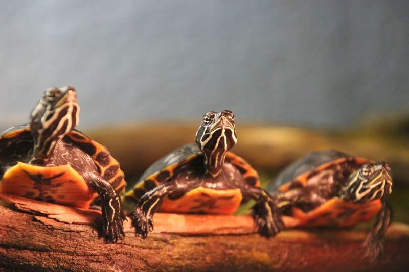 Hear No Evil, See No Evil, Speak No Evil  turtles Close-up Animal Themes No People