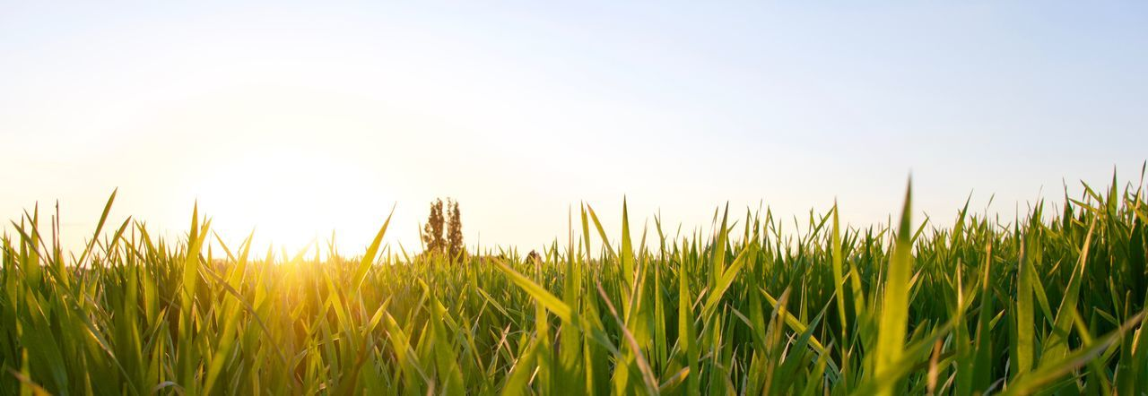 Grass Agriculture Backgrounds Beauty In Nature Cereal Plant Clear Sky Close-up Crop  Day Field Freshness Grass Green Color Growth Landscape Nature No People Outdoors Plant Rural Scene Sky Summer Wheat