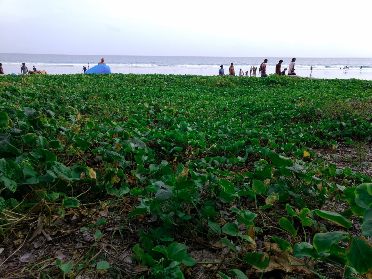 nature, sea, beauty in nature, green color, scenics, water, horizon over water, growth, outdoors, tranquility, grass, field, beach, plant, tranquil scene, day, real people, sky, large group of people, leaf, flower, people