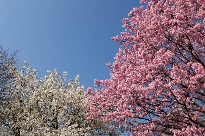 Cherryblossom EyeEm Tokyo MeetUp 12 Sakura Shinjuku Gyoen Spring