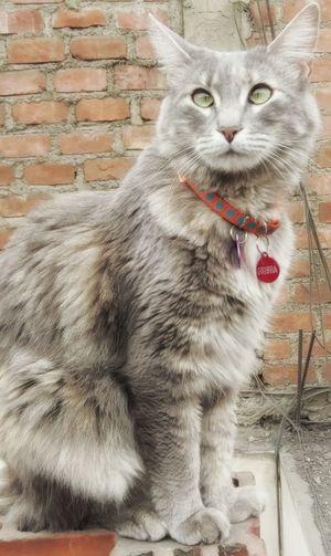 Domestic Cat Pets Close-up Portrait Miauuu 😺