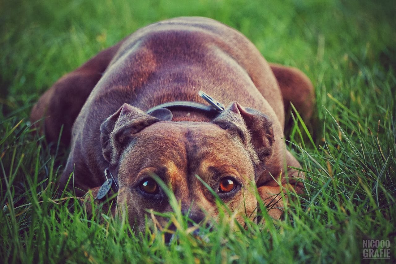 grass, dog, domestic animals, animal themes, no people, pets, mammal, field, growth, outdoors, close-up, day